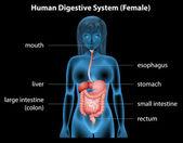 Fotografia sistema digestivo umano