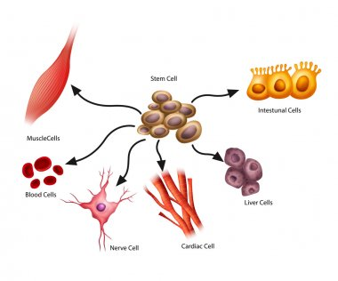 Illustration showing the stem cells stock vector