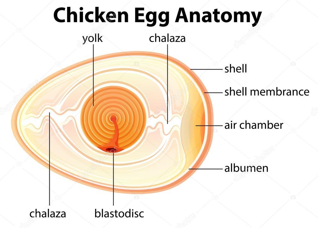 Anatomía del huevo de gallina — Vector de stock © blueringmedia ...