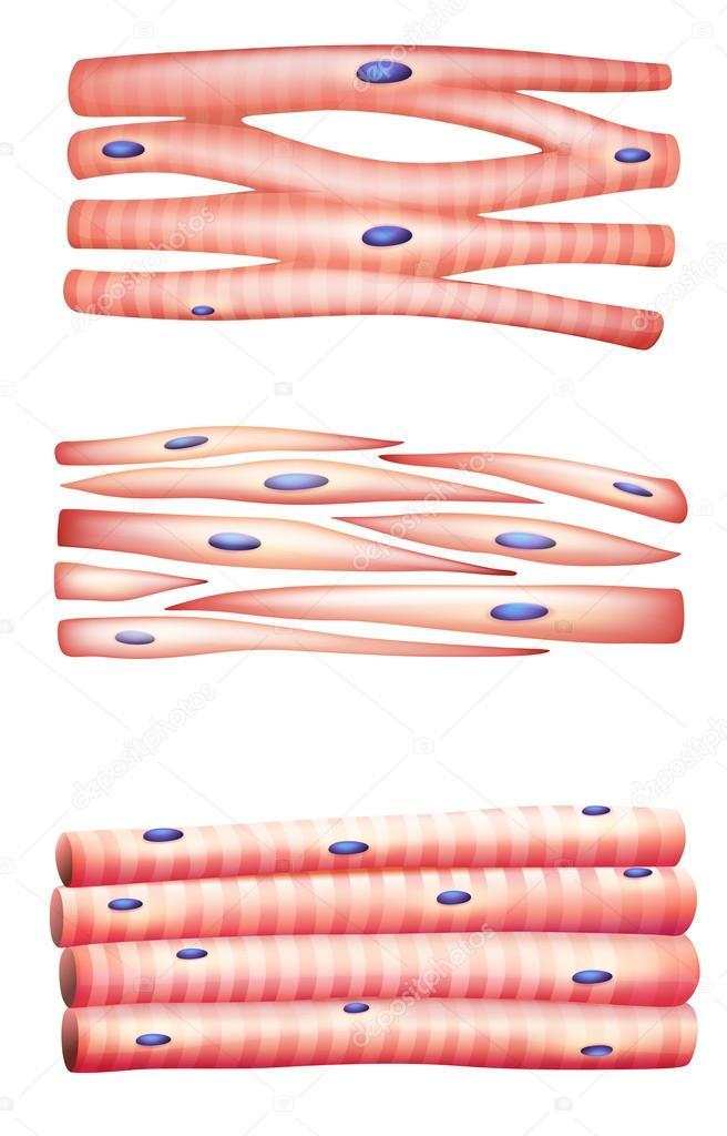 Arten von Muskeln — Stockvektor © blueringmedia #31928019