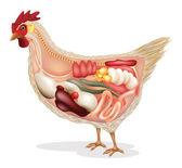 anatomie kuře