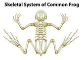 Csontváz-rendszer egy közös béka