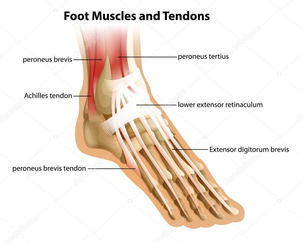 los músculos y tendones del pie — Archivo Imágenes Vectoriales ...