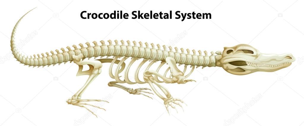 Ein Krokodil-Skelett-Systems — Stockvektor © blueringmedia #32777305