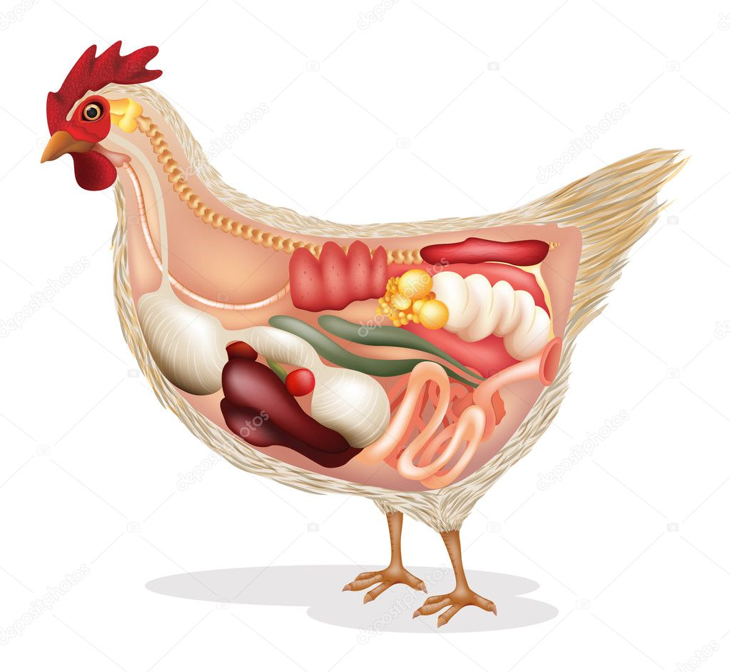 Anatomy of chicken — Stock Vector © blueringmedia #32777327