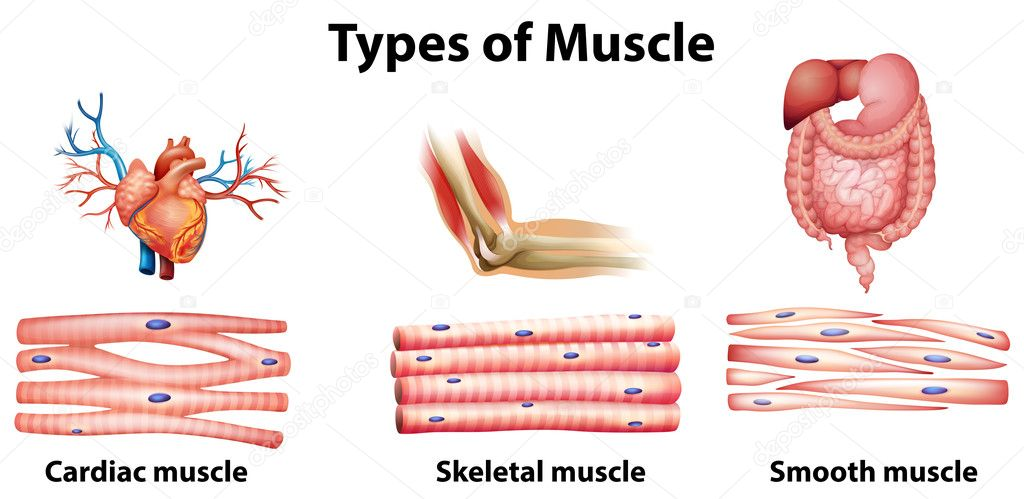 Types Of Muscle Stock Vector Blueringmedia 36147391