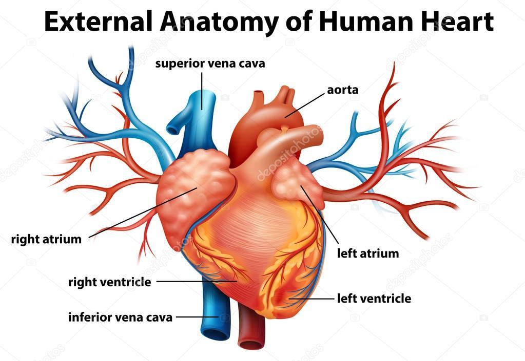 Anatomía del corazón humano — Vector de stock © blueringmedia #36147633