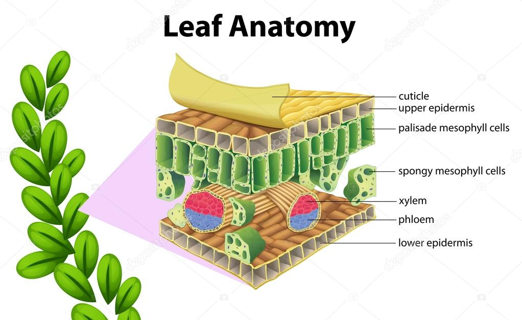Anatomía de la hoja — Archivo Imágenes Vectoriales © blueringmedia ...