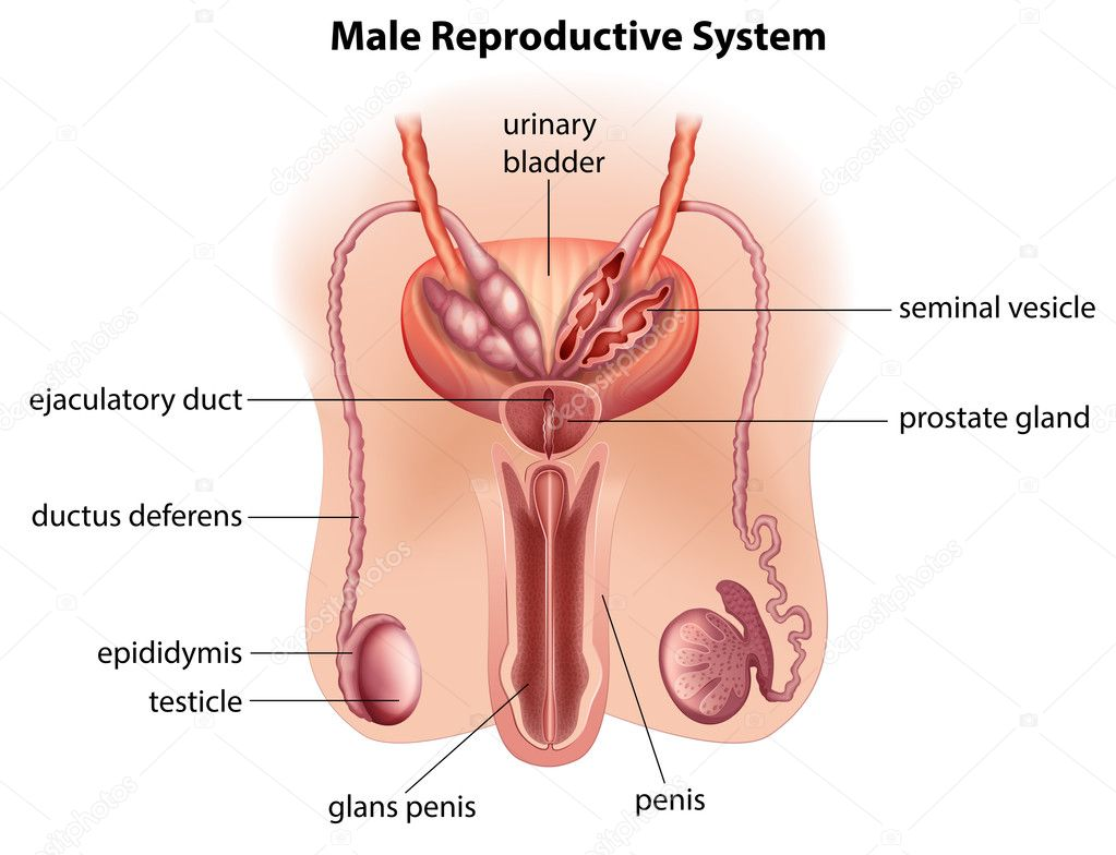 Anatomy Of The Male Reproductive System Stock Vector