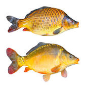 Photo The Common Carp (Cyprinus Carpio).