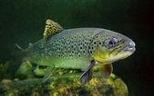 Fotografie brown trout.