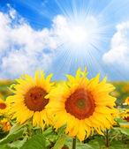 Slunečnice (helianthus annuus) slunečnicový olej, získaný ze semen, se používá k vaření, jako nosný olej a k výrobě margarínu a bionafty