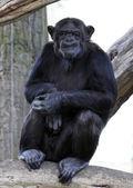portrét dospělých šimpanze v zoo Plzeň - Česká republika - Evropa