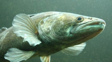 The Zander or Pike-perch (Sander lucioperca).