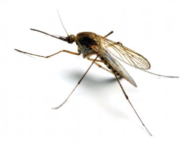 The Anopheles mosquito.