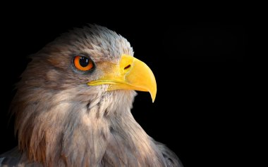 The evil eye. ( Eagle - Haliaeetus albicilla).
