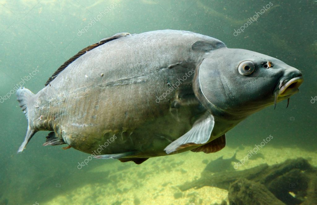 The Common Carp (Cyprinus Carpio).