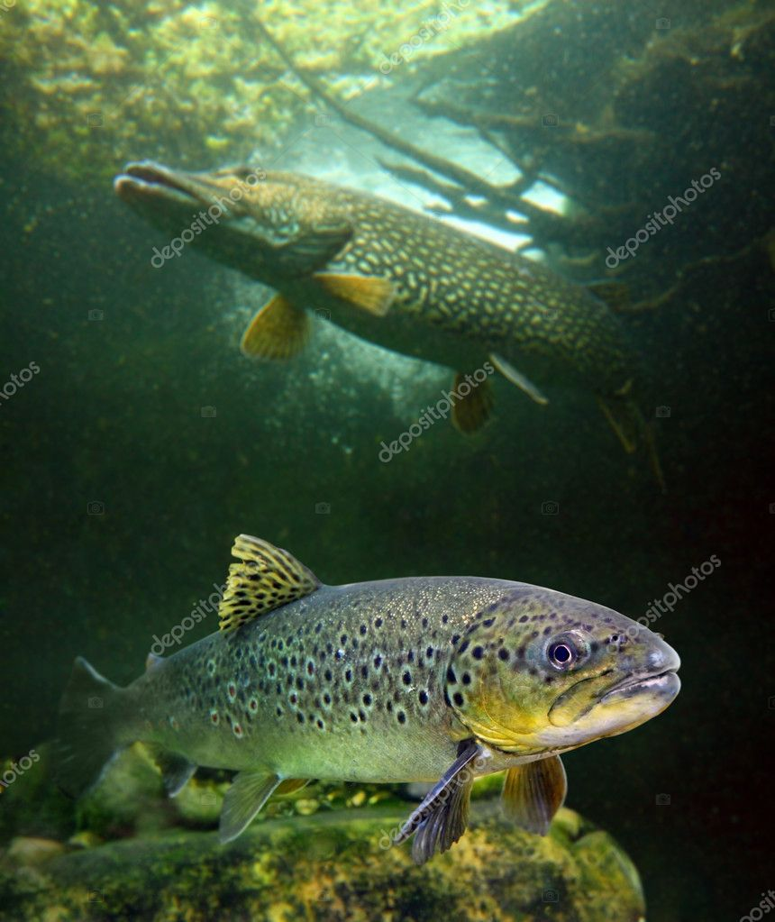 The Brown Trout and a big Pike.