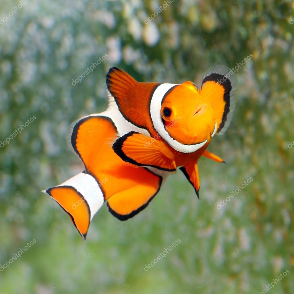 The clownfish amphiprion ocellaris stock photo for Clown fish price