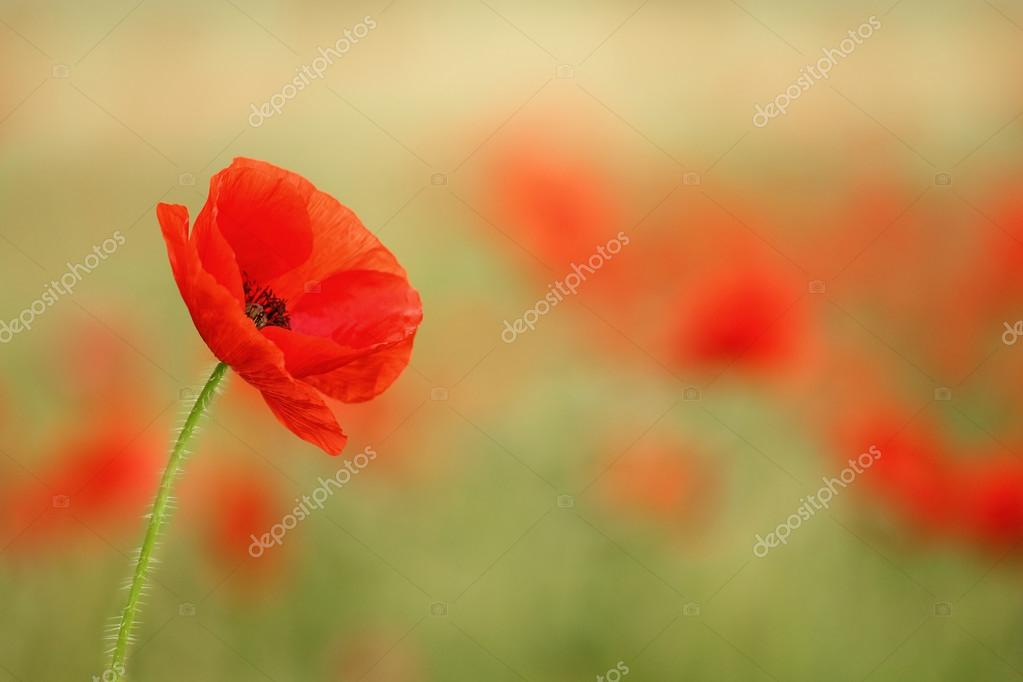 Red poppy (Papaver rhoeas).