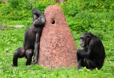 Two funny chimpanzees