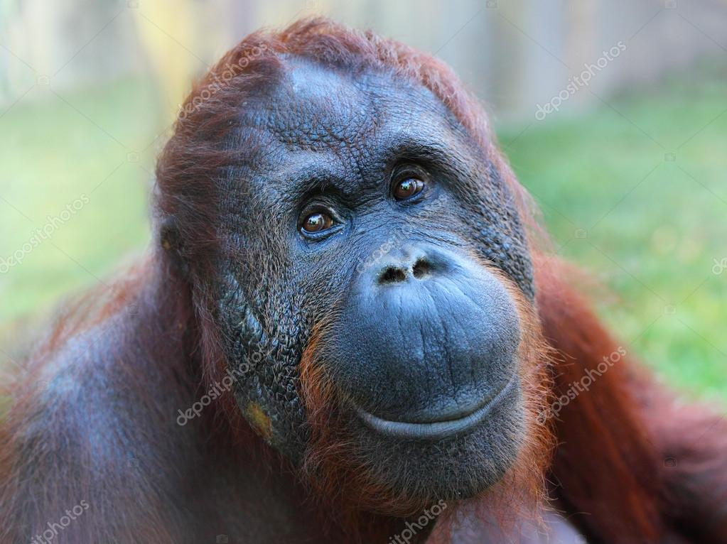 Happy smile of The Bornean orangutan