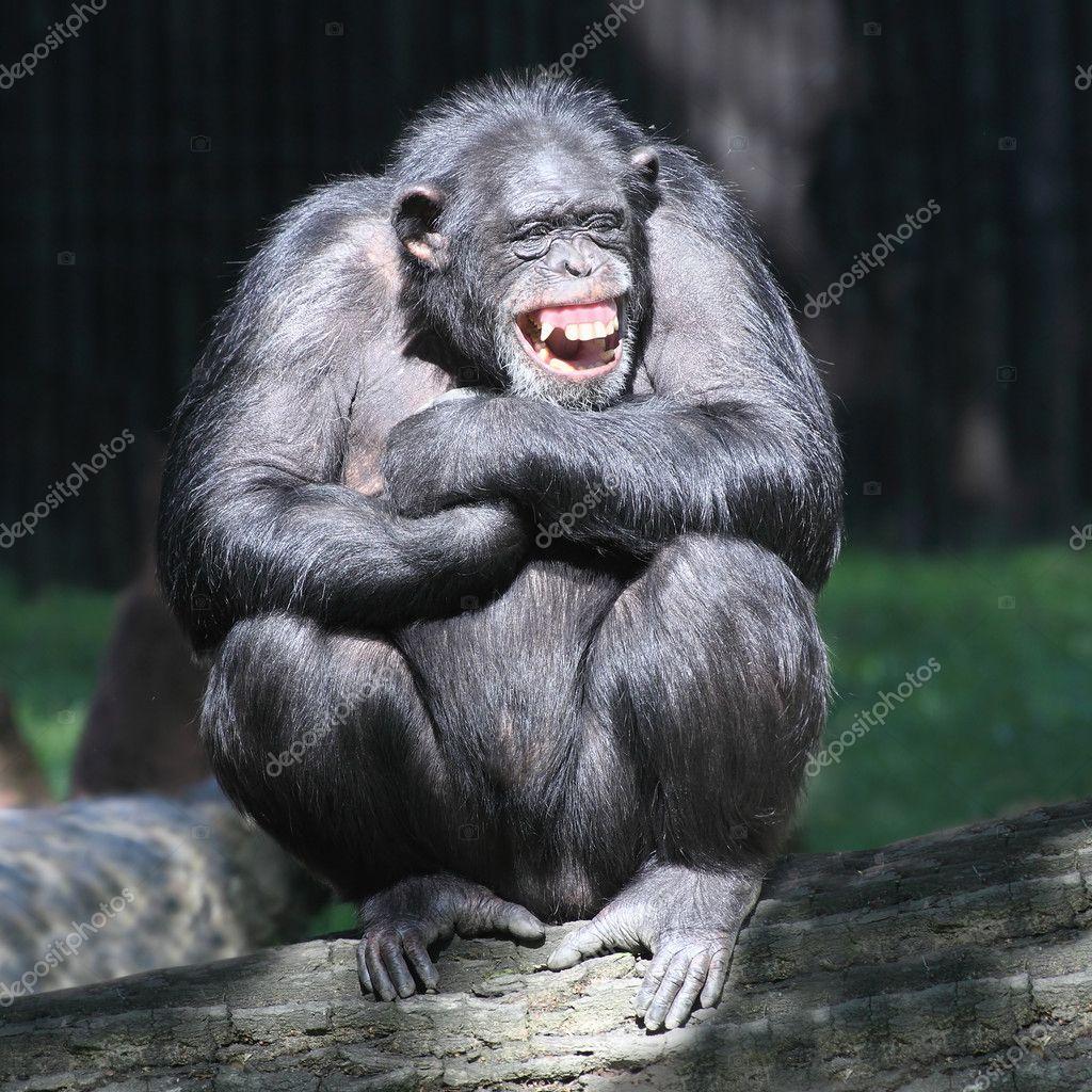 Smiling happy Chimpanzee
