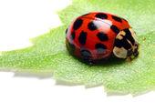 Photo Red ladybug on green leaf