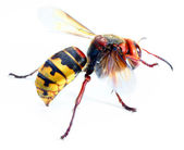 Fotografia Close-up of a live European Hornet (Vespa crabro)