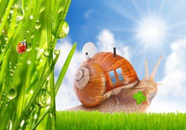 Edible snail (Helix pomatia) on the grass.