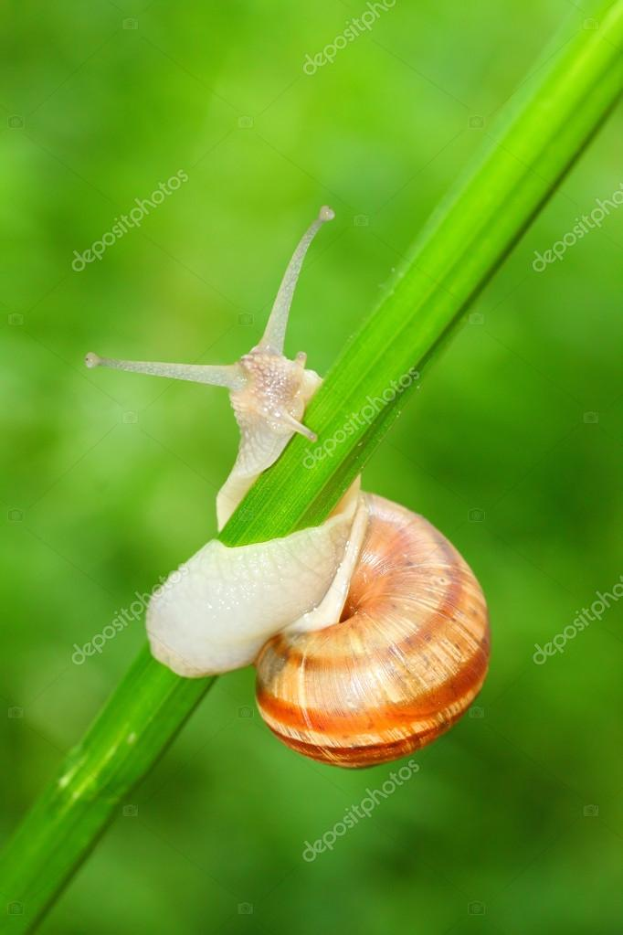 Edible snail (Helix pomatia) on the grass.