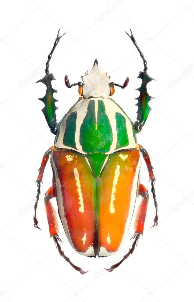 Die Goliathkäfer Scarabaeidae Gehören Zu Den Größten Insekten Auf
