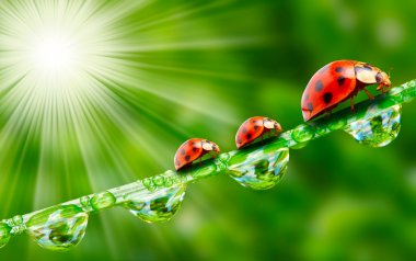 Three ladybugs running on a dewy grass.