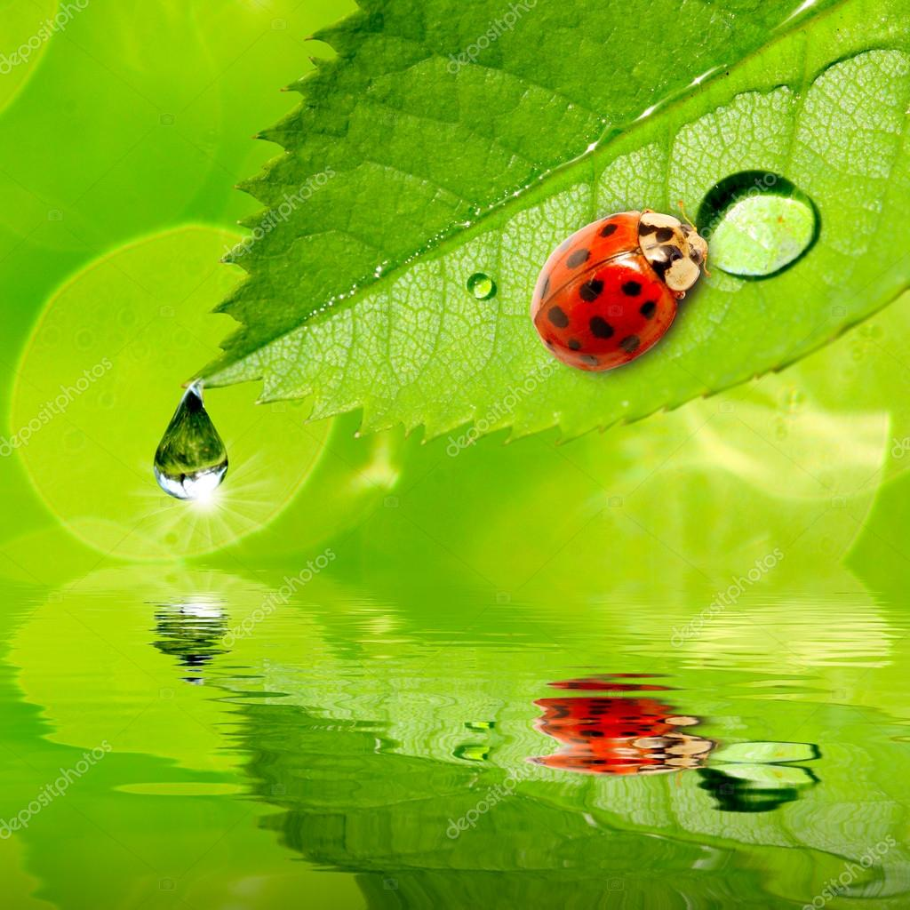 Ladybug drinking fresh morning dew.