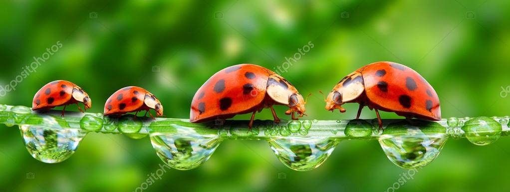 The ladybugs family running on a grass bridge over a spring flood.