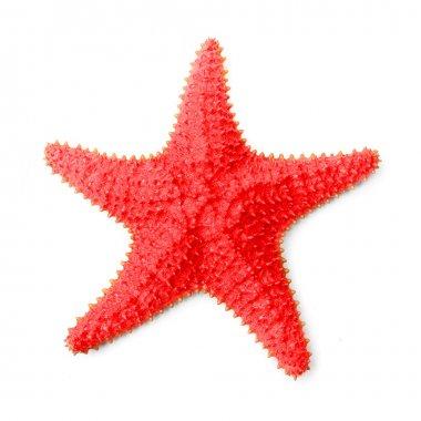 Caribbean starfish (Oreaster reticulatus)