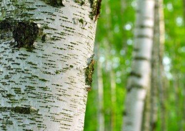 Birch forest. Betula pendula