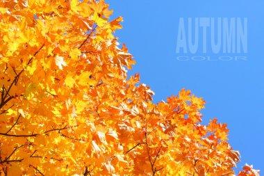 Maple foliage - autumn colors.