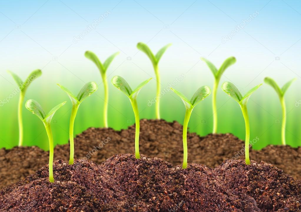 Seedlings in a soil.