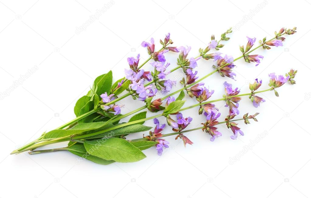The Common Sage (Salvia officinalis)