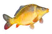 Photo Big Common carp