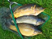 kapr obecný. ryby na rybářských sítí