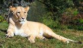 Fotografie velký žena Lev (panthera leo) ležící v trávě