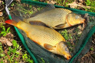 Fish on fishing net. The Common Carp ( Cyprinus Carpio )
