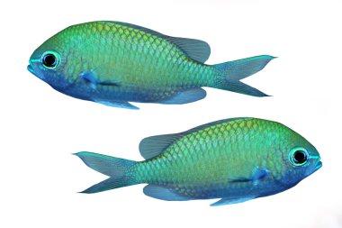 Green tropical fish