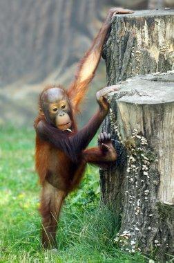 Young one of The Bornean orangutan (Pongo pygmaeus).
