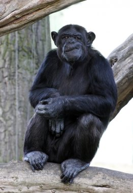 Portrait of a adult chimpanzee in Zoo Pilsen