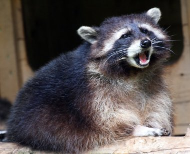 Screaming raccoon (Procyon lotor) in National Park