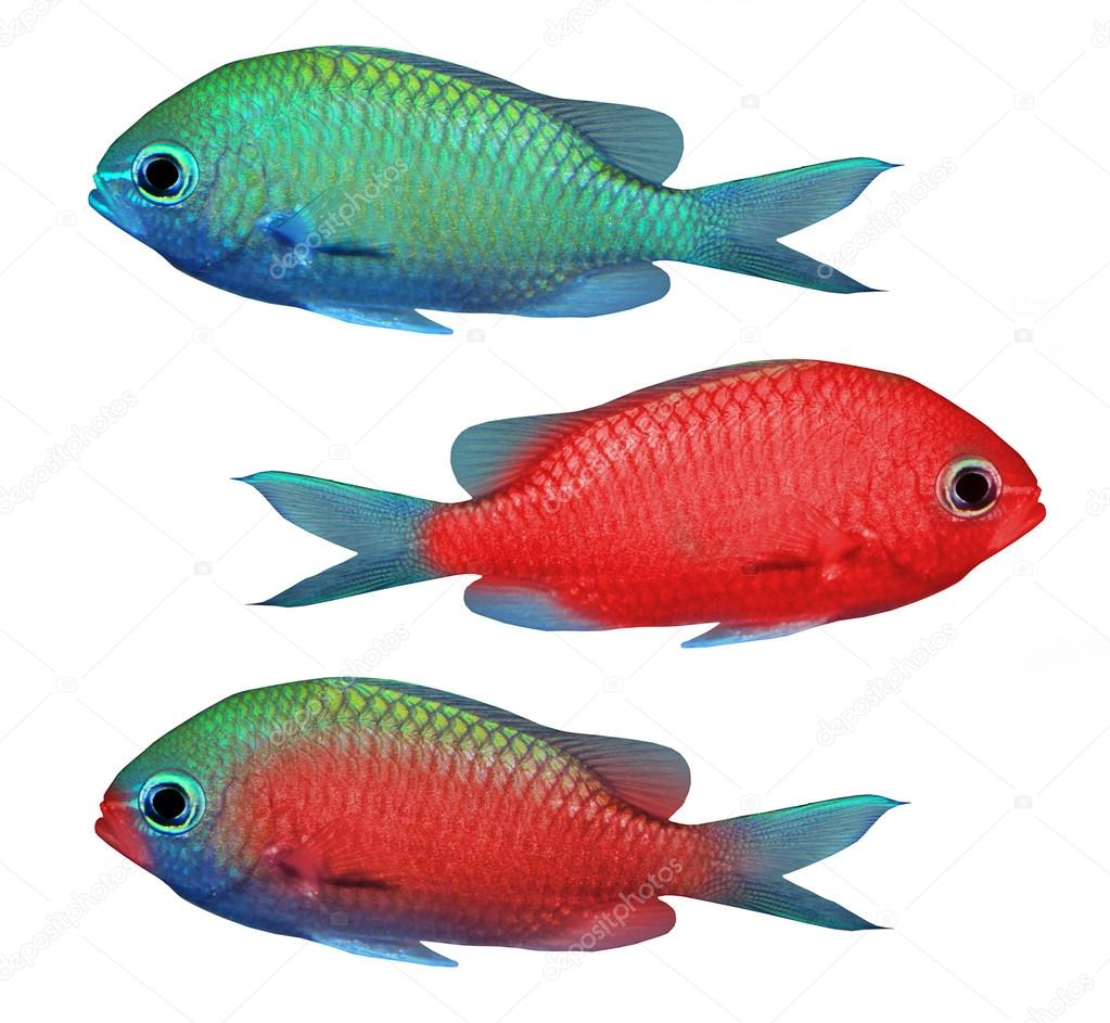 Red and green tropical fish — Stock Photo © vladvitek #34673775