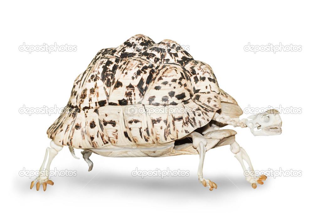 esqueleto de la tortuga caminando — Foto de stock © vladvitek #34677441